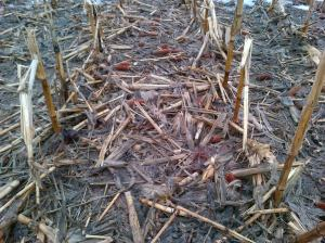 Figure 1. Corn crop residue protecting soil from rain and snow-melt run-off in early spring (Daynard farm)