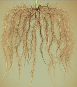 Corn roots (Credit: Dr. Amélie Gaudin, Plant Agriculture, University of Guelph