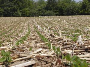 Figure 2. No-till soybeans in corn residue (credit: Patrick Lynch.)
