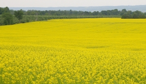 Canola in flower. Credit: Brian Hall, Ontario Ministry of Agriculture and Food