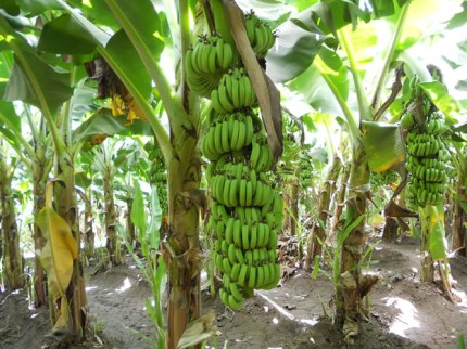 banana-2-big